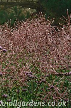 Miscanthus Ferner Osten   Knoll Gardens   Ornamental Grasses and Flowering Perennials