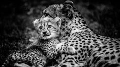 A Cheetah Cub Clinging to His Mother.