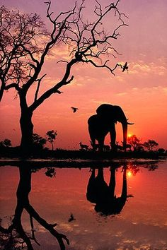 """African elephant silhouetted by the sunrise. """"Elephant at Dawn"""", Botswana, Photograph by Frans Lanting African elephant silhouetted by the sunrise. """"Elephant at Dawn"""", Botswana, Photograph by Frans Lanting Chobe National Park, National Parks, Kruger National Park, National Museum, Beautiful Creatures, Animals Beautiful, Animals Amazing, Pretty Animals, Reflection Pictures"""