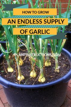 Garlic is one of the easiest vegetables to grow in your home. This guide to growing an endless supply of garlic shows you how to do it! # growing garlic instructions about system instructions art design landspacing to plant Green Onions Growing, Growing Veggies, Growing Tomatoes, Garlic Growing Indoors, Planting Green Onions, Growing Garlic From Cloves, Regrow Green Onions, Growing Lettuce, Growing Plants Indoors