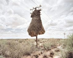 Dillon Marsh: Assimilation - he nests of sociable weaver birds built around telephone poles in the southern Kalahari region -- clicked on the photo and go see more incredible nest