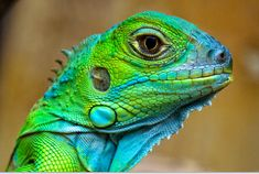 Google Image Result for http://photography.graefdesign.com/tl_files/gdp/content/gallery/Colourful%2520Lizards/lizards_011.jpg