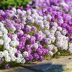 Alternating purple and white alyssum flowers creating an edge border in a garden bed. Flowers Perennials, Planting Flowers, Late Summer Flowers, Winter Flowers, Home Garden Plants, Garden Bed, Ground Cover Plants, Flower Landscape, Gardens