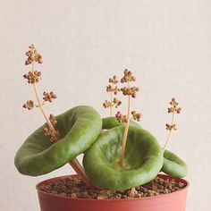 Cactis - Sucullents Crassula Succulent 29 Article Physique: Have you ever ever checked out a profita House Plants, Weird Plants, Planting Flowers, Plants, Succulents, Cool Plants, Unusual Plants, Indoor Plants, Planting Succulents