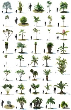 More trees information palm trees landscaping, tree sketches Palm Trees Garden, Palm Trees Landscaping, Backyard Landscaping, Landscape Architecture, Landscape Design, Garden Design, Architecture Plan, Tree Render, Tropical Plants