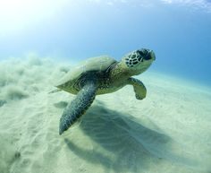 Absolutely Natural Supports Sea Turtles! Read how you can help support them too! :D #absolutelynatural #seaturtles