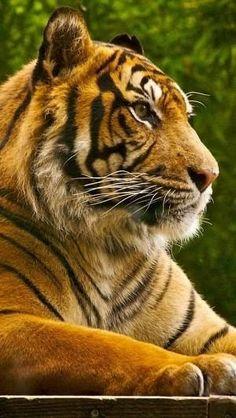 Ferocious animal tiger by sylvia alvarez Jungle Animals, Animals And Pets, Cute Animals, Tiger Photography, Wildlife Photography, Beautiful Cats, Animals Beautiful, Panthera Tigris Altaica, Chat Lion