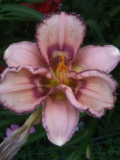 Daylily (Hemerocallis 'Zoe Allegra') uploaded by JWWC