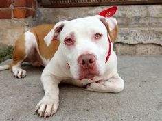TO BE DESTROYED - 8/20/14 Brooklyn Center -P~~ PUPPY ALERT !!! ~~~  My name is JIM. My Animal ID # is A1010311. I am a male tan and white pit bull mix. The shelter thinks I am about 8 MONTHS old.  I came in the shelter as a STRAY on 08/12/2014 from NY 11207, owner surrender reason stated was STRAY.