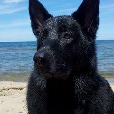 Black #German #Shepherd Handsome devil