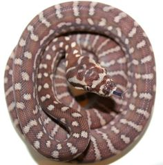 Inland Reptile - Carpet Python Availability