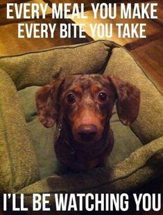 24 Dachshund Memes That Will Totally Make Your Day - Funny Dog Quotes - 24 Dachshund Memes That Wil… Dachshund Funny, Dachshund Puppies, Dachshund Love, Funny Dogs, Cute Puppies, Cute Dogs, Funny Animals, Cute Animals, Daschund