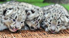 ユキヒョウの子どもたち、体重はまだ1キロ 写真2枚 国際ニュース:AFPBB News