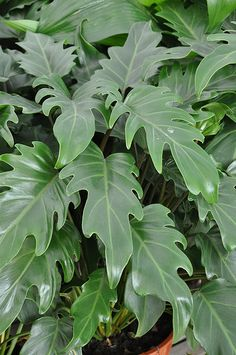 Philodendron Xanadu - grows to about 75-100cm high and keeps a neat form. Gorgeous lush foliage that would blend with the tropical feel of the frangipani. Would look nice in the front garden along the west boundary (under the neighbour's tree), mixed with Clivia.