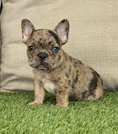 Puppies for Sale | Buckeye Puppies Cute Boxer Puppies, Bulldog Puppies For Sale, French Bulldog Puppies, Mans Best Friend, Puppy Love, Animals Dog, Pets, Sweet, Animals