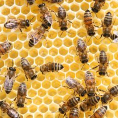 Worker bees building honeycomb.
