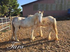 Ear de Tara - Bay silver colt - 1 year