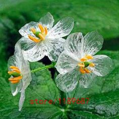 100pcs Transparent Flower Seeds Delicate Garden Flower The petals turn transparent with the rain Amazing for home & garden
