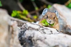 A pika at Moraine Lake, Lake Louise, Banff National Park, collecting some food for the winter ahead. Japanese Cartoon Characters, Wild Hamsters, Artist Portfolio, Little Critter, Mammals, Baby Animals, Wildlife, Creatures, Photography