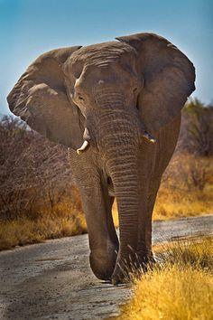 African Elephant Big 5 Wildlife Photography Fine by RobsWildlife Elephant Wall Art, Wild Elephant, Elephant Love, Elephant Photography, Wildlife Photography, Animal Photography, African Elephant Habitat, Primates, Mammals