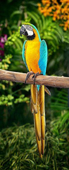 Guacamayo azul y amarillo (Ara ararauna) en libertad, foto publicada en infoexoticos.com la web de las mascotas exóticas
