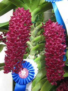 Orchid: Rhynchostylis gigantea - Species from Southeast Asia Grown PAPHIO IN OKINAWA-Blog
