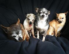 Senior Chihuahuas Adopted Together Are All About Squad Goals
