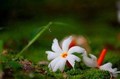 Beautiful Bangladesh: The 'Shiuli'/'Shephali', a very common autumn flower with nice fragrance. Durga Maa, Shiva Shakti, Indian Flowers, Fall Flowers, Durga Puja Kolkata, Rum, Bengali Culture, Jokes Images, Malayalam Quotes