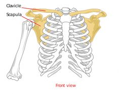 Durere de umăr - cauze, diagnostic, tratament - Servus Expert Shoulder Injuries, Shoulder Muscles, Shoulder Joint, Winged Scapula Exercises, Acromioclavicular Joint, Shoulder Anatomy, Arm Bones, Frozen Shoulder, Rotator Cuff