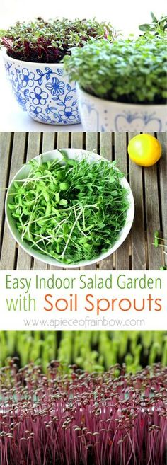 How to grow soil sprouts: an easy method to grow nutritious sprouts and baby greens in less than 2 weeks. Great for small space and indoor winter gardening! http://www.apieceofrainbow.com/indoor-salad-garden-soil-sprouts/