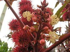 Rizinus, eine der giftigsten Pflanzen. Plants, Poisonous Plants, Medicinal Plants, Gardening, Plant, Planting, Planets