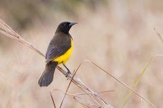 Foto chopim-do-brejo (Pseudoleistes guirahuro) por Ivan Angelo   Wiki Aves - A Enciclopédia das Aves do Brasil