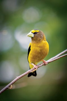 North American Birds in Danger    A recent Audubon Society report reveals that several North American bird populations are declining, putting these birds in danger of possible extinction if we don't change. From MOTHER EARTH NEWS magazine.