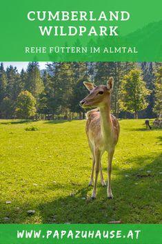 Stop! Du hast soeben das Ziel für euren nächsten Familienausflug gefunden! Der Cumberland Wildpark im wunderschönen Almtal eignet sich perfekt für einen Ganztagesausflug mit der ganzen Familie. :) Was euch dort erwartet? Das erfährst du hier!   #cumberlandwildpark #grünau #almtal #salzkammergut #oberösterreich #ausflugsziel #familienausflug Hallstatt, Austria, Kangaroo, Road Trip, Hiking, Animals, Travel Report, Road Trip Destinations, Travel Advice