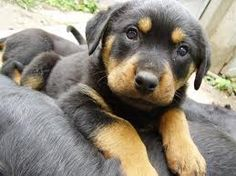 Rotty pups