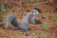Delmarva Peninsula Fox Squirrel (Photo: Getty Images)  via @AOL_Lifestyle Read…