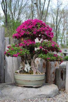 De origem nos países da américa do sul, a bougainvillea é uma espécie rústica, de fácil cultivo e que exige poucos cuidados. Seu nome foi dado em homenagem ao francês Louis Antoine Bougainville, qu… #bonsai