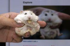 Cute chubby | Cute Chubby Hamster