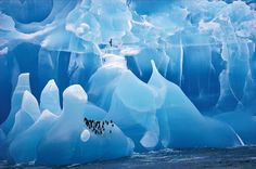 Cherry Alexander (UK) 1995: This magnificent blue iceberg was shot from a ship off the South Sandwich Islands in Antarctica. It's a cathedral of ancient ice, with a little group of Adélie penguins and a prion perfectly positioned overhead. via theguardian #Photography #Wildlife #Penguins #Prion