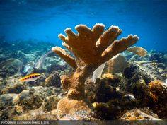 Programa de Restauracion de Arrecifes -- Oceanus A.C.