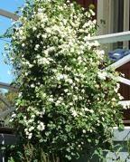 Bijzonderheden: snel groeiend, licht geurend met donkergroen leerachtig glanzend blad en wintergroen. Clematis armandii Apple Blossom (groenblijvend)