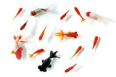 デメキン 金魚イラスト セット