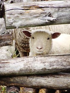 A sheep pokes out its head at the historic Oliver Kelley farm in Ramsey -- photo by Jordan Wenndt.