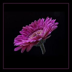 Focus improved by stacking four shots, each with a different point of focus. Gerbera Flower, Flowers, Diamonds In The Sky, Wedding Tiaras, Old Oak Tree, Summer Of Love, Botanical Gardens, Floral, Party