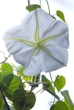 ~moonflower vines...blooms at night...creates a magical white spotlight in your harden
