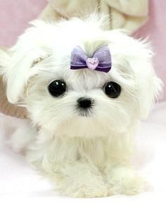 "micro puppy from ""royal teacup puppies"" there eyes are just so cute"