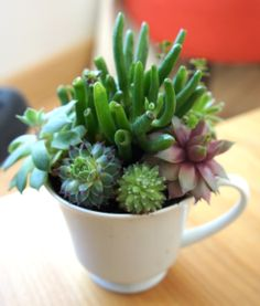 Image result for teacup succulent