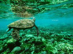Sea Turtle swimming through corals. 📷 Credit: Unknown. #turtle #sea #photo #animal #ocean #wild #photography #océano #tortuga #animales #salvaje #tortue #wear_pet #foto #underwater #mar Great Barrier Reef, Photos Fitness, Komodo National Park, Save Wildlife, Komodo Island, Ocean Pollution, Plastic Pollution, Ocean Day, Ocean Life