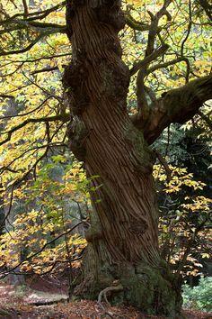 I'm an Elm Tree.. Yay!!..ELM TREE .. Jan.12-Jan 24 ...Soooo Pretty!!!.. Looks like the trees you see in a Fairy Tale!!..=) #BirthTree