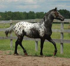 A fine Appaloosa horse